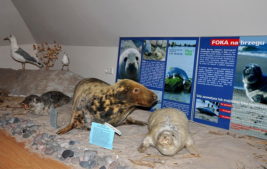 Muzeum Rybołówstwa Morskiego Niechorze Atrakcje Rewal Atrakcje Foka szara Ssak morski Noclegi Niechorze Gmina Rewal Niechorze mapa Bałtyk Nad morzem Wczasy